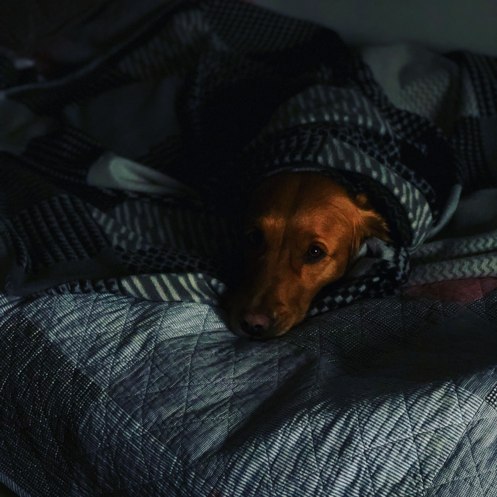 short-coated brown dog covered by blanket