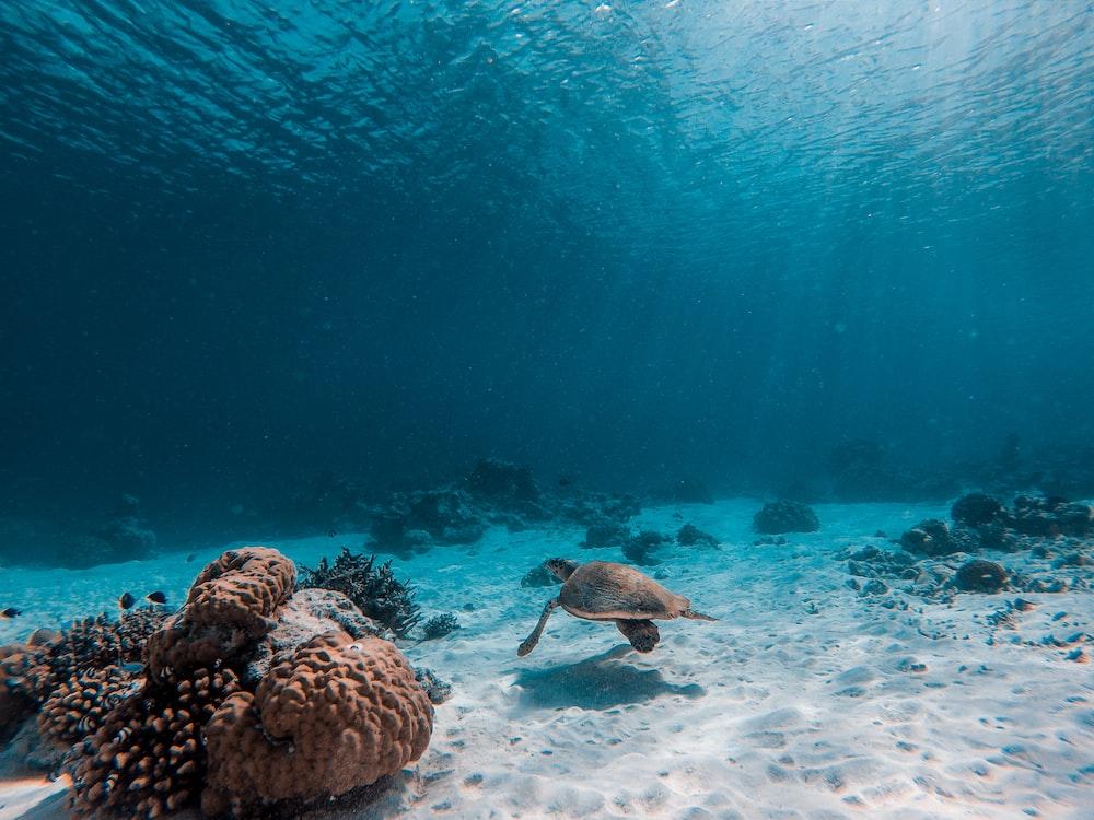 brown turtle underwater