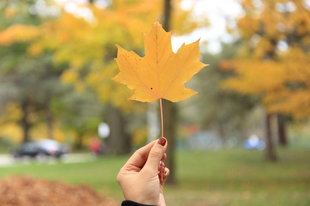 person holding single orange maple leaf