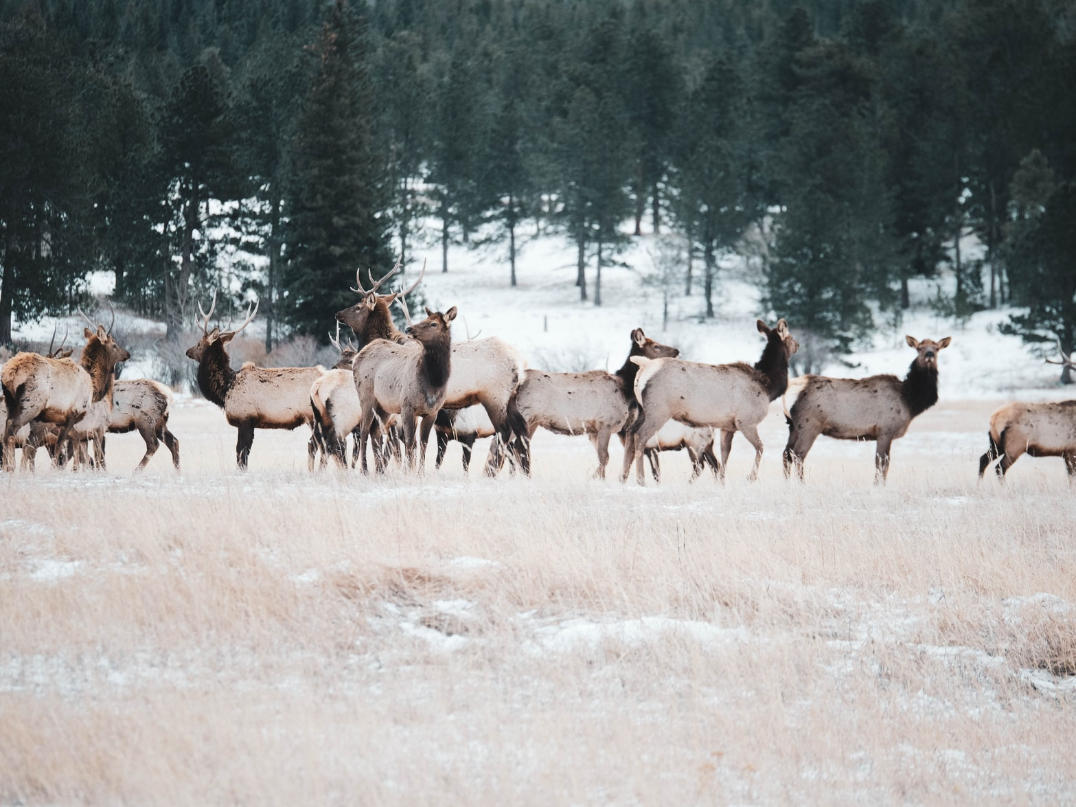 On the Elk Trail: Episode 2 – Elk Migration