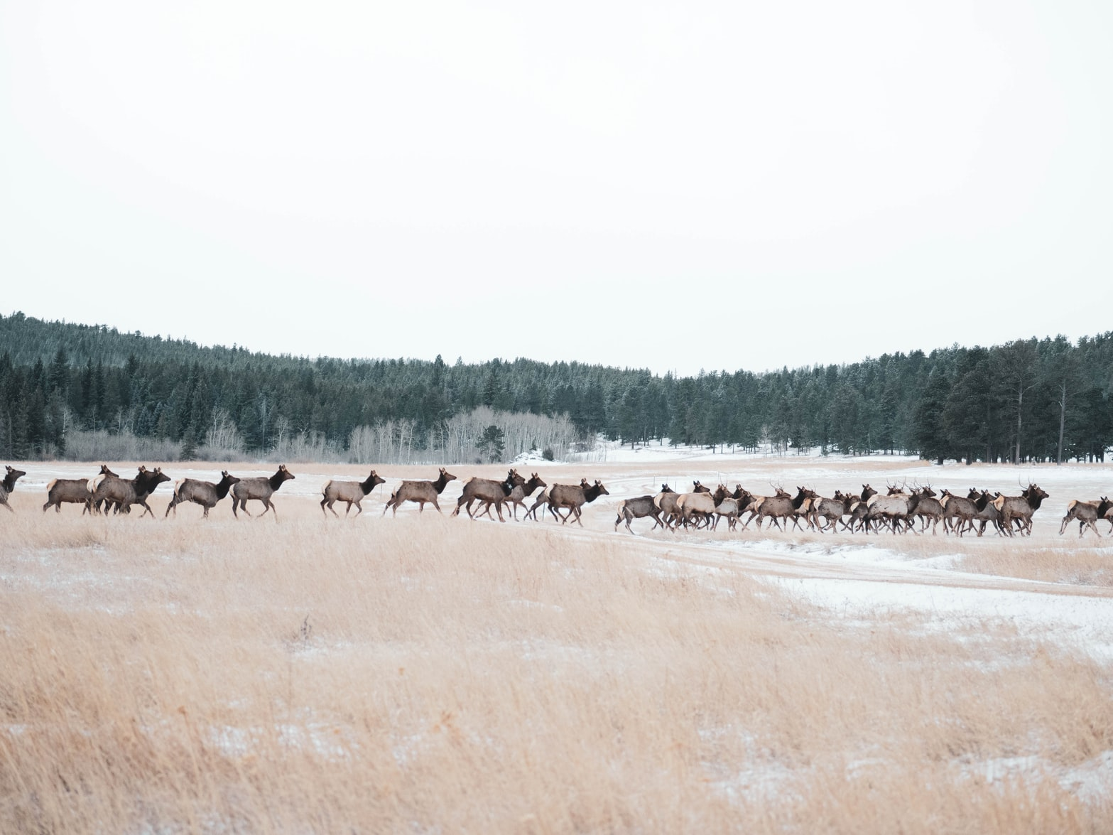 Stunning Video Shows Herd of Elk Running up a Hill Near Denver