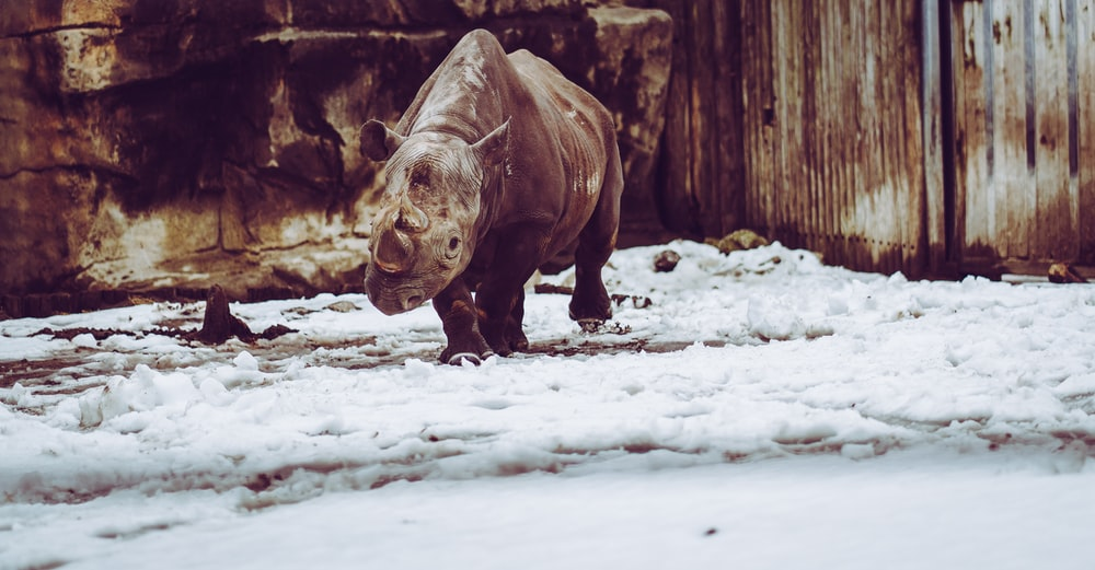 Rhinoceros in the snow | HD photo by Yomex Owo (@yomex4life