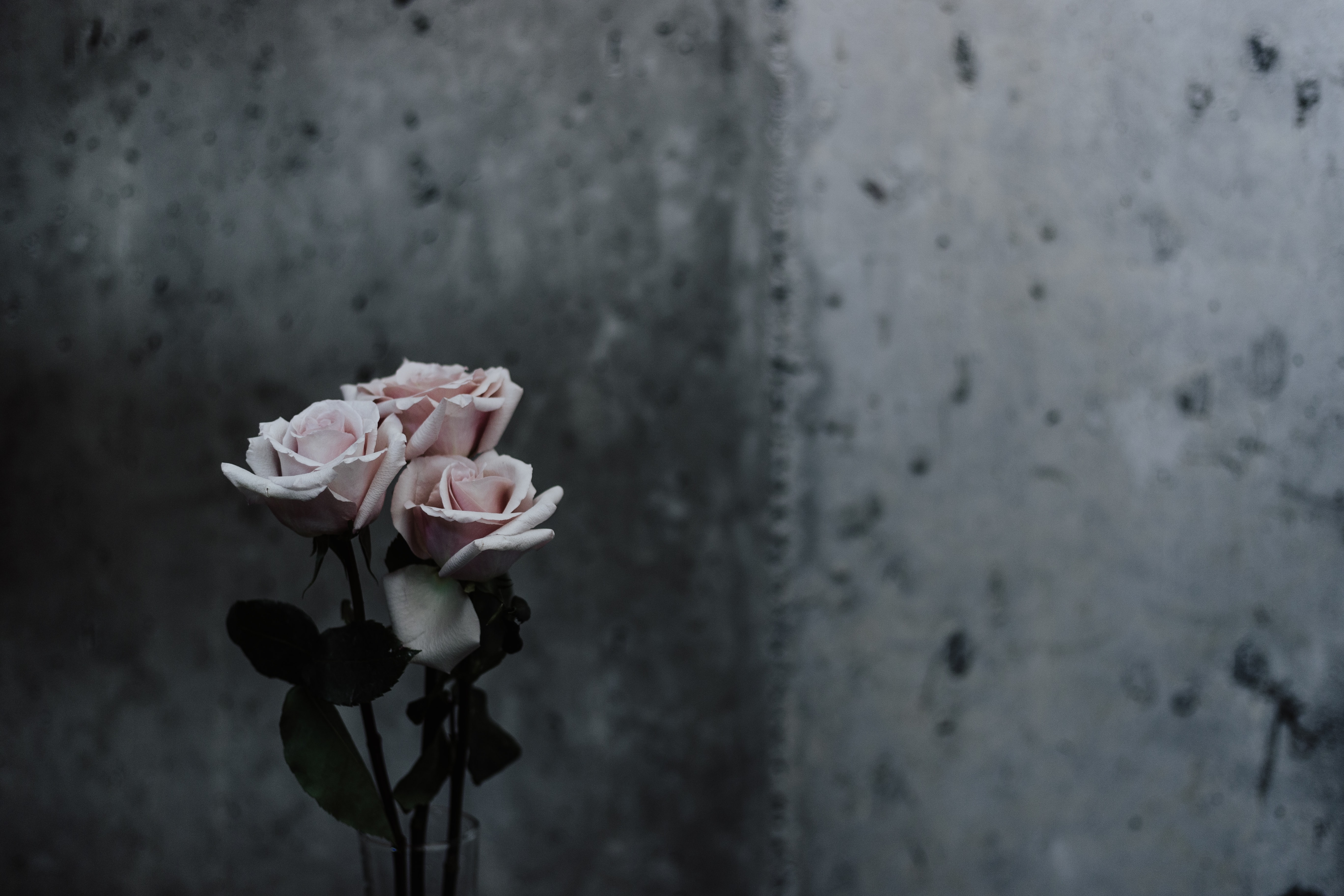 selective focus photography of pink roses beside gray concrete wall