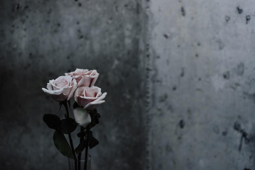 灰色のコンクリート壁の横にあるピンクのバラのセレクティブフォーカス写真