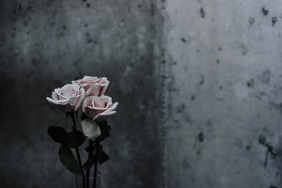 selective focus photography of pink roses beside gray concrete wall mother's day teams background