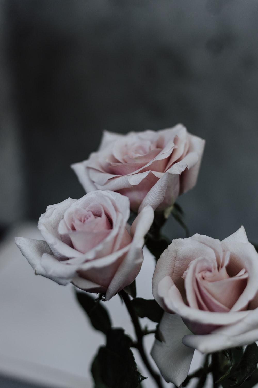 three pin roses