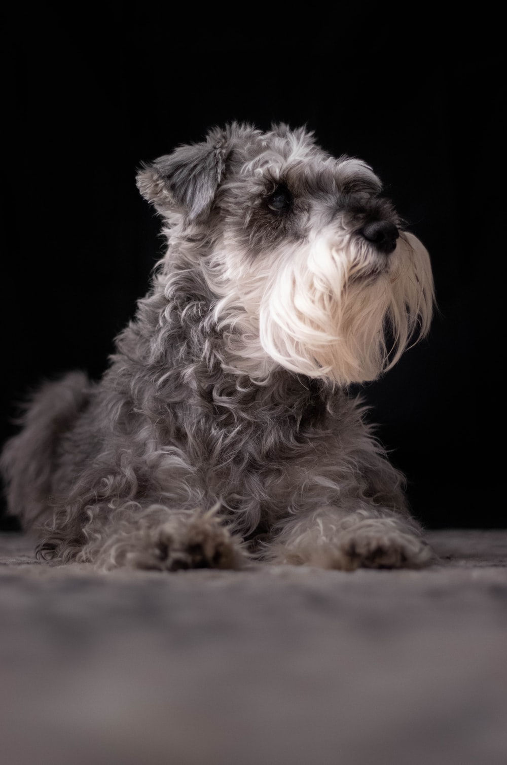 long-coated gray and white dog