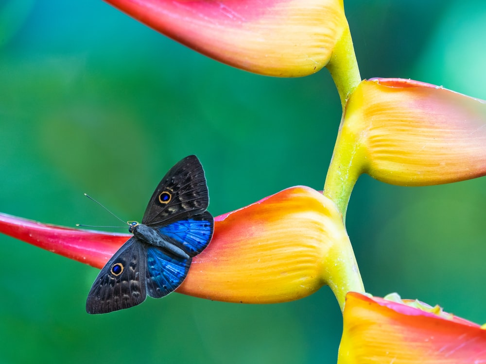 blue and black butterfly on pink and yellow flower