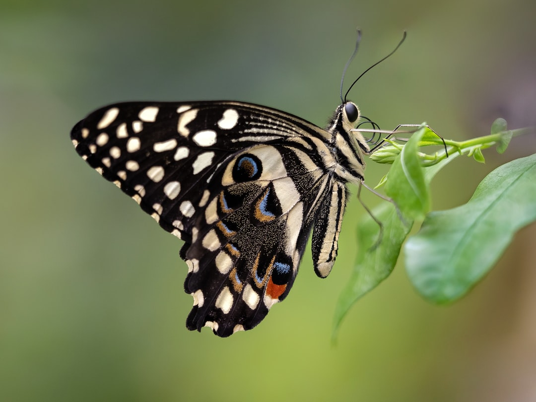 Common Lime Swallowtail (also known as the Chequered Swallowtail) butterfly at Stratford Butterfly Farm in England