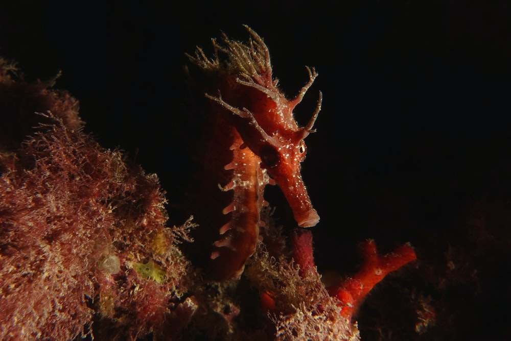 red and white seahorse