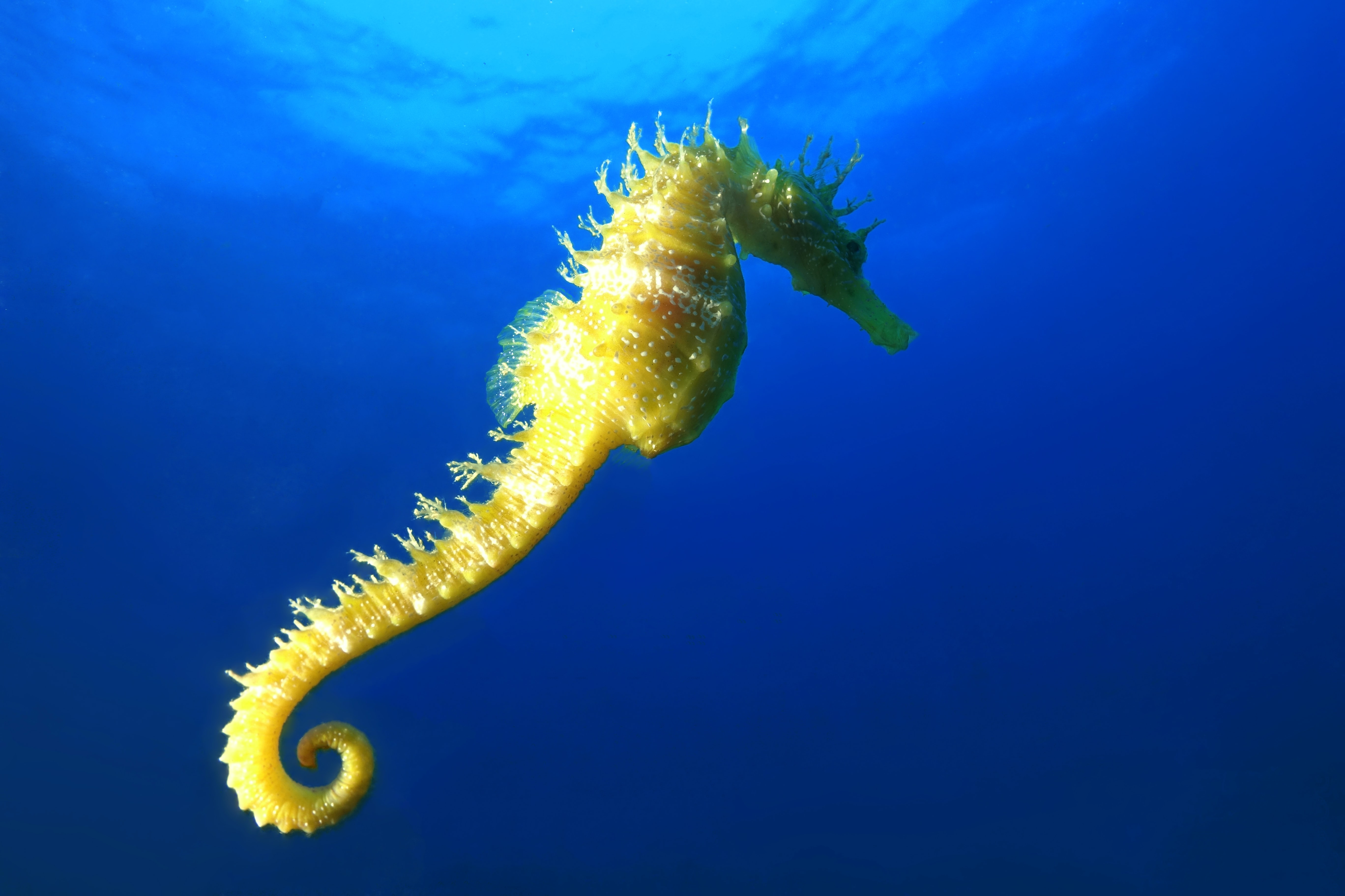 yellow seahorse on water