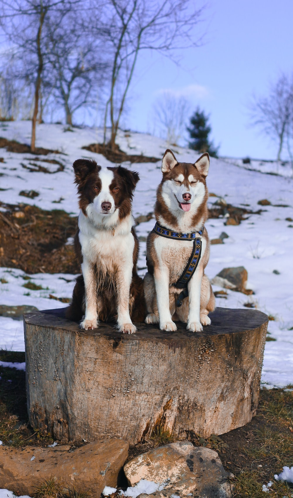 two short-coated dogs sitting on tree log