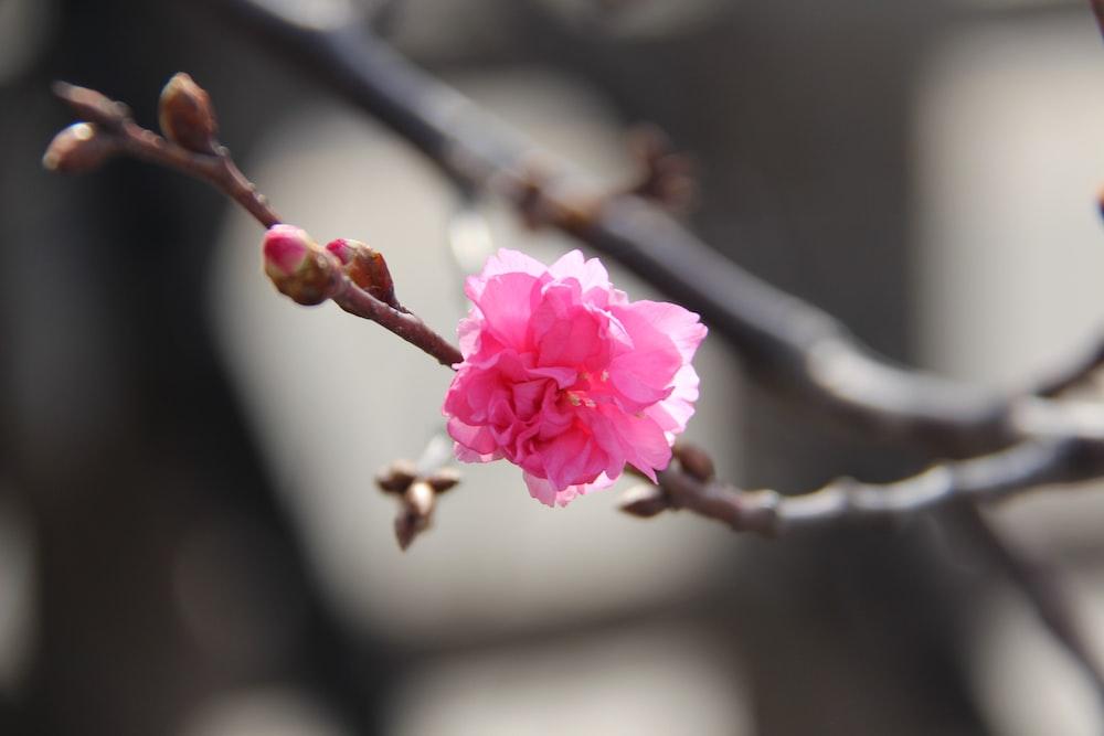 pink petaled flower selective focus photo
