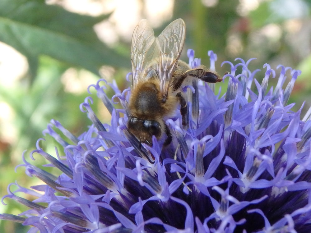 selective focus photography of bee perching on purple clustered flower