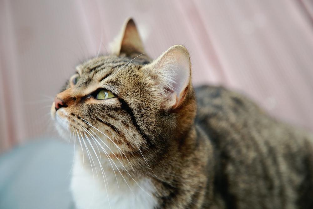 tabby cat looking upward