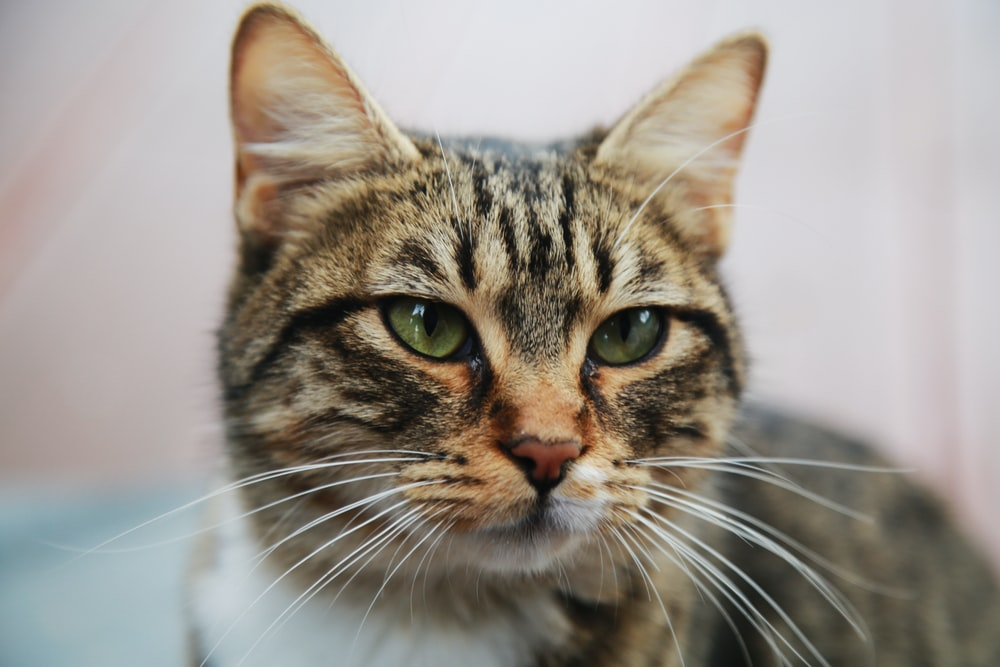 grey and brown cat with long whiskers