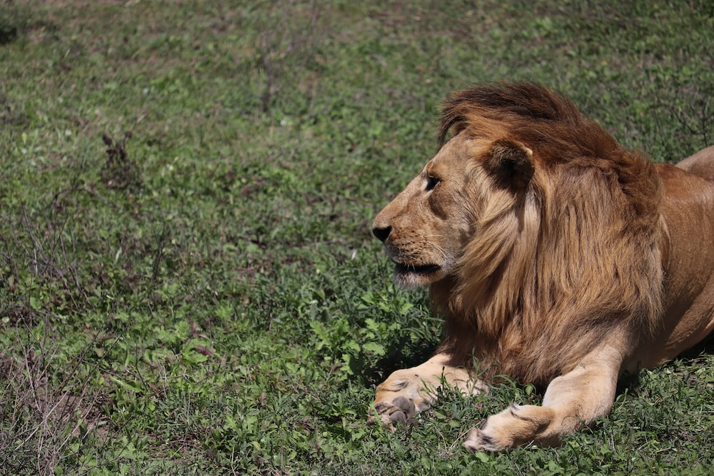 male lion lying on green grass