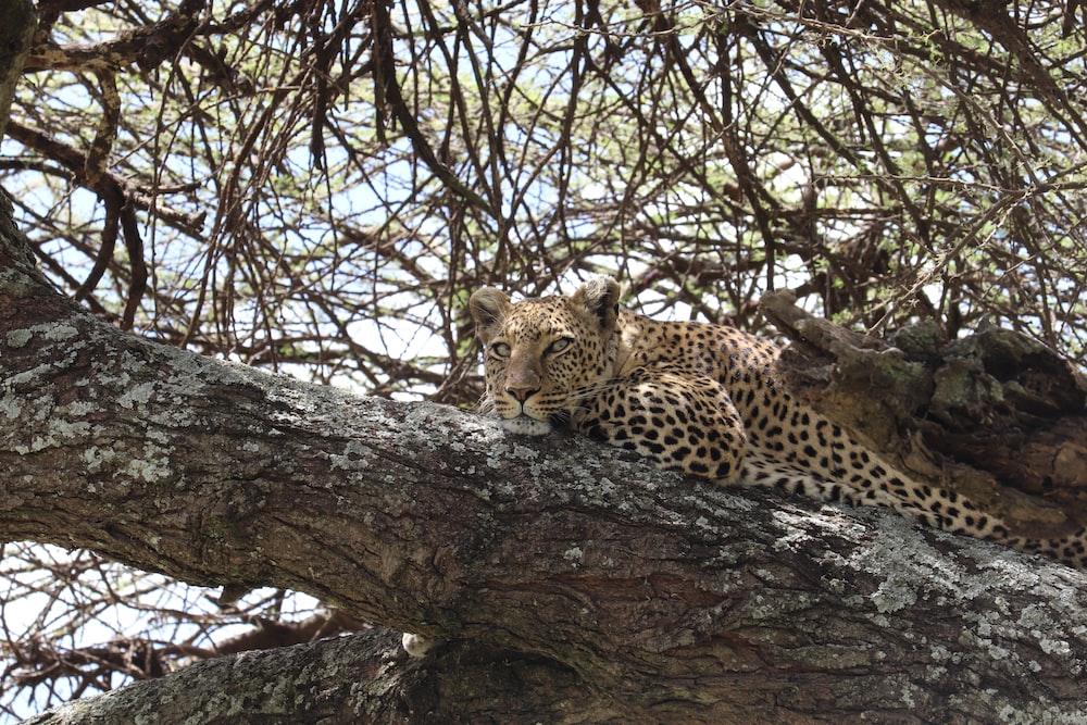 leopard on tree beside river