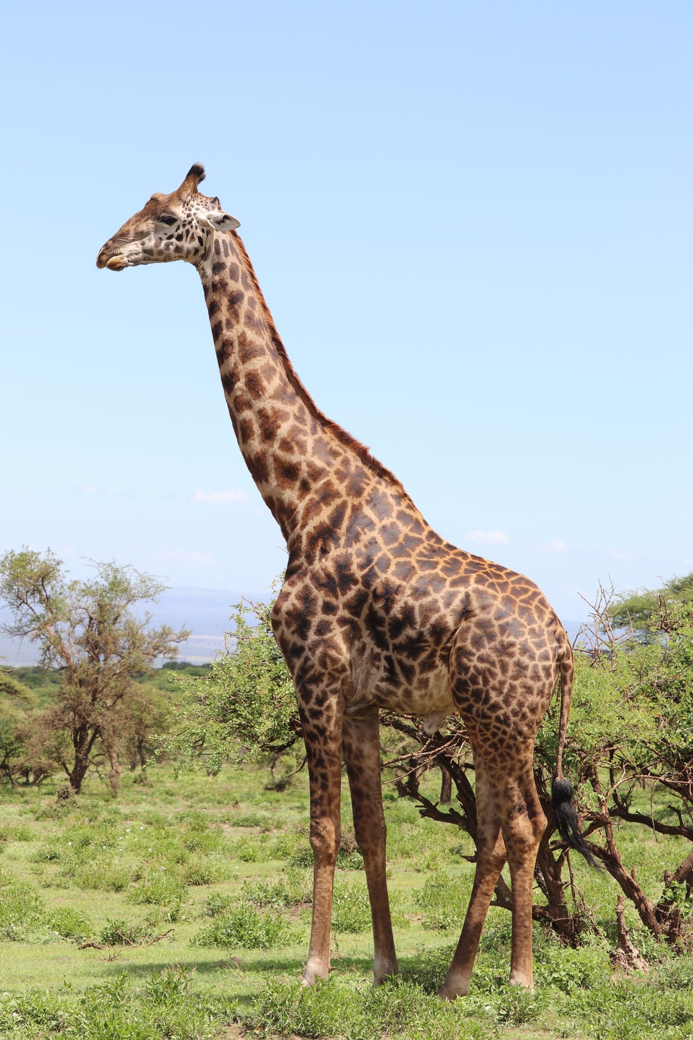 giraffe standing on green grass during daytime