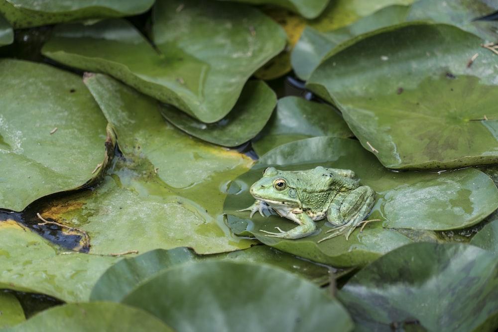 green frog on tog of green leaf