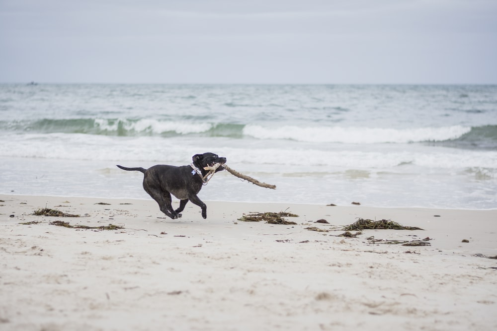black American pit bull terrier puppy biting brown stick running on seashore during daytime