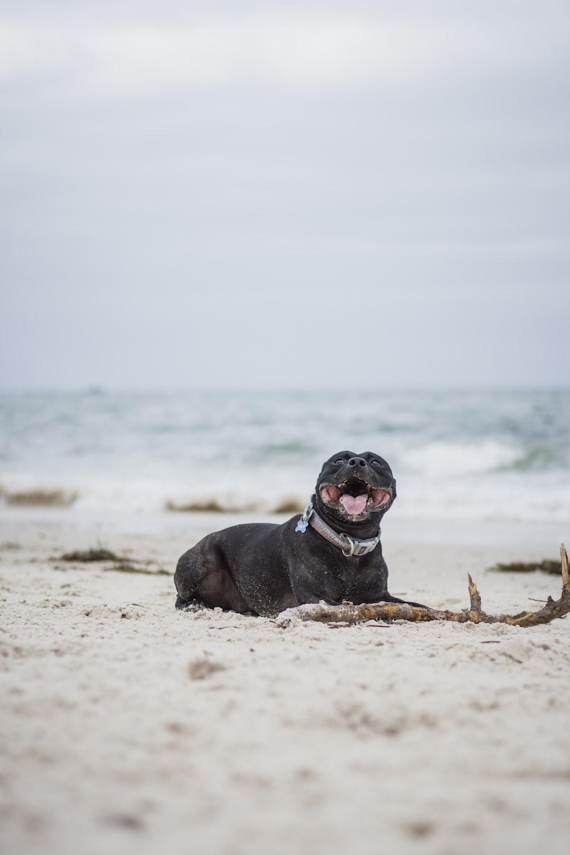 short-coated black dog lying on seashore during daytime