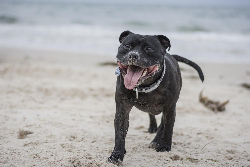 adult black Staffordshire bull terrier
