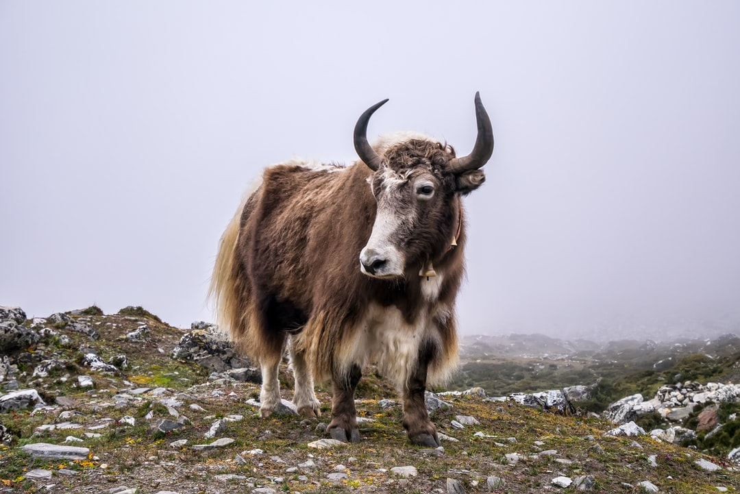On your way to Everest, you will have to go through mud, rain, snow and encounter mighty yaks.
