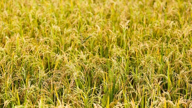 rice field during daytime