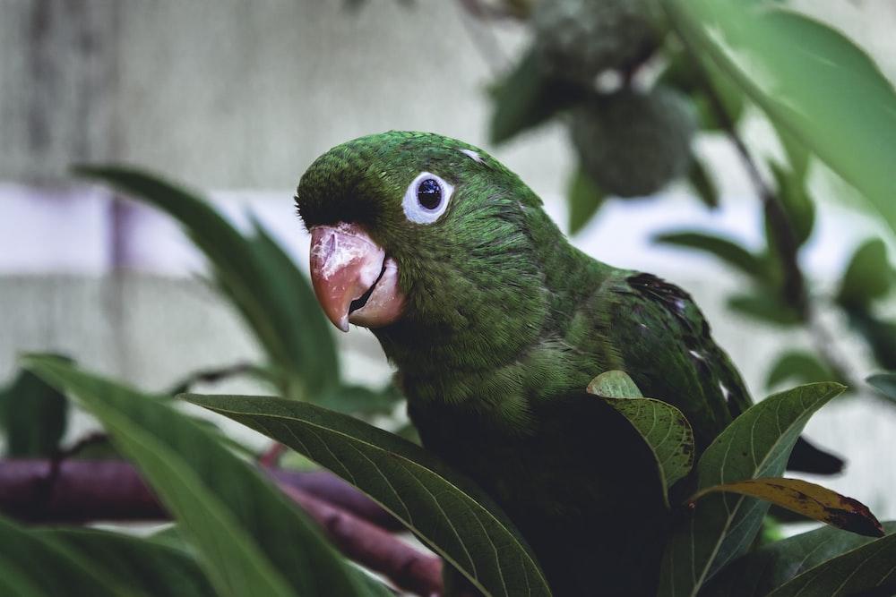 selective focus photography of green parakeet