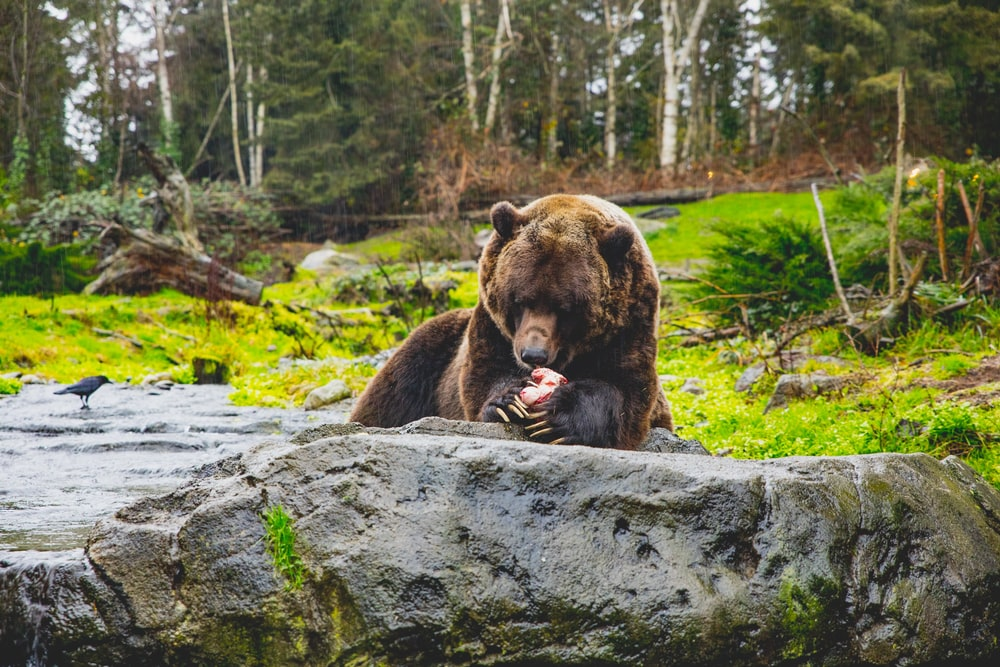 brown bear lying on gray rock