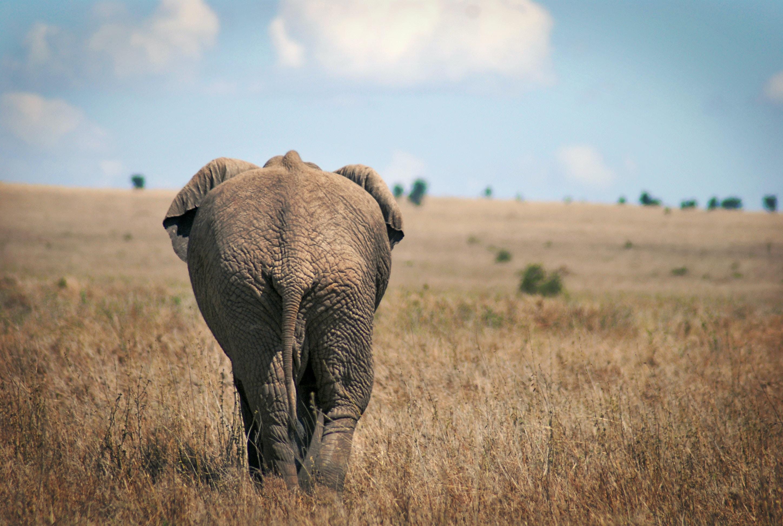black elephant walking across brown grassland under cloudy sky