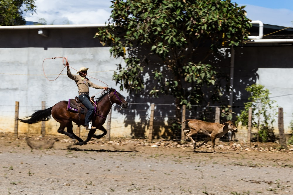 man riding brown horse holding brown rope tailing brown cattle