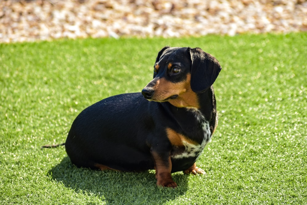 black and brown puppy