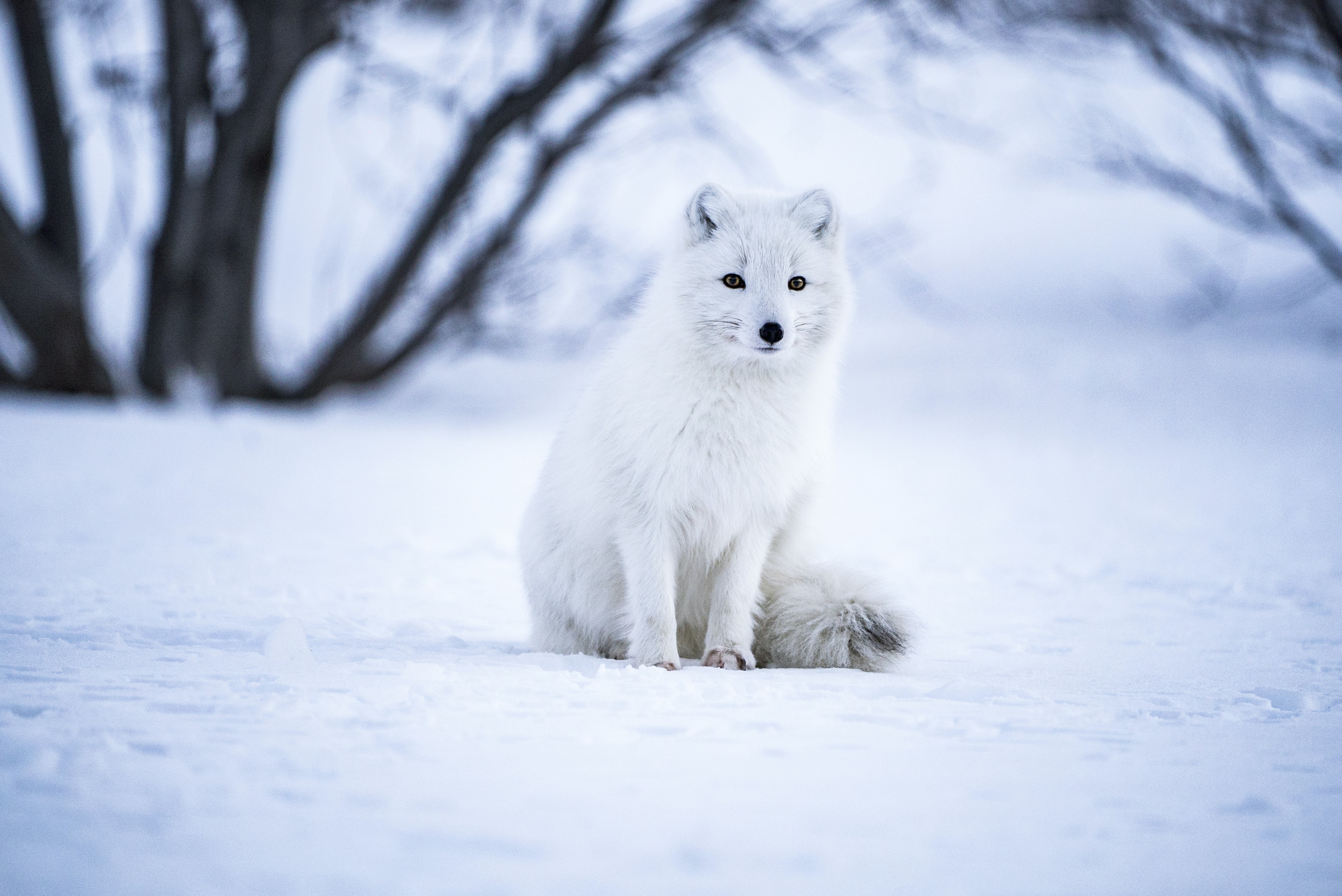selective focus photography of gray wolf on snow field