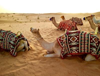 herd of camel sitting on desert sand dubai teams background
