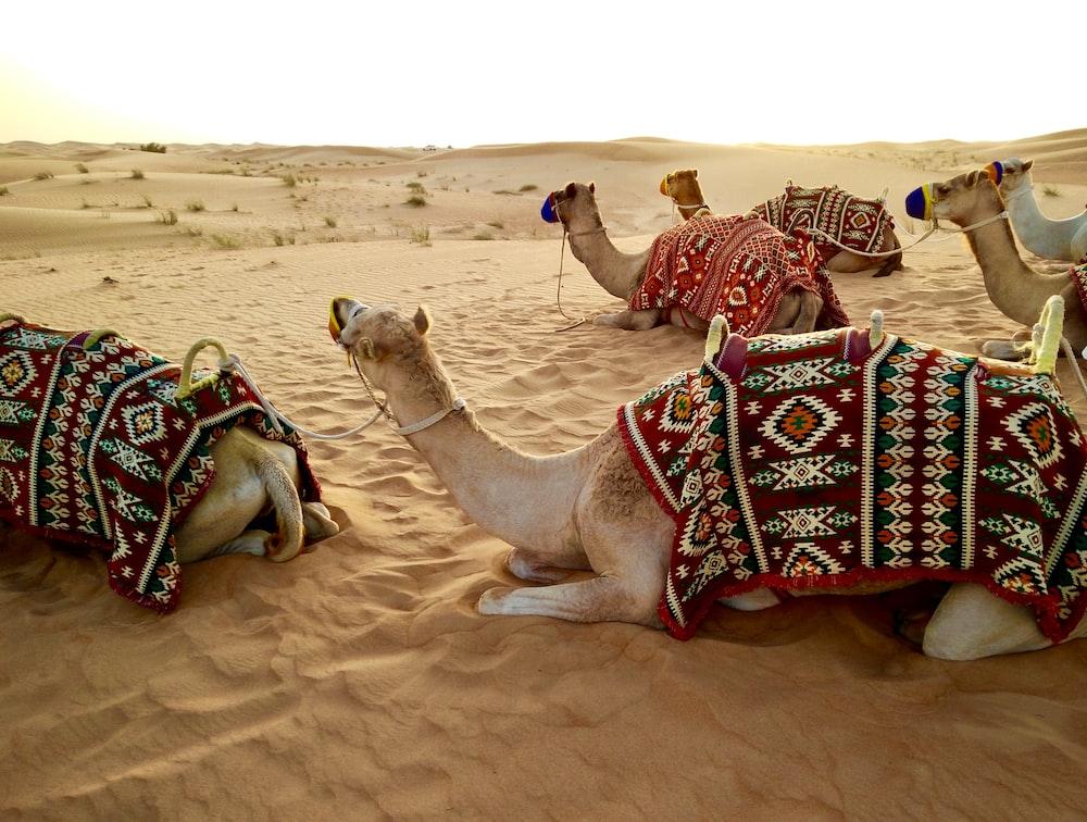 herd of camel sitting on desert sand