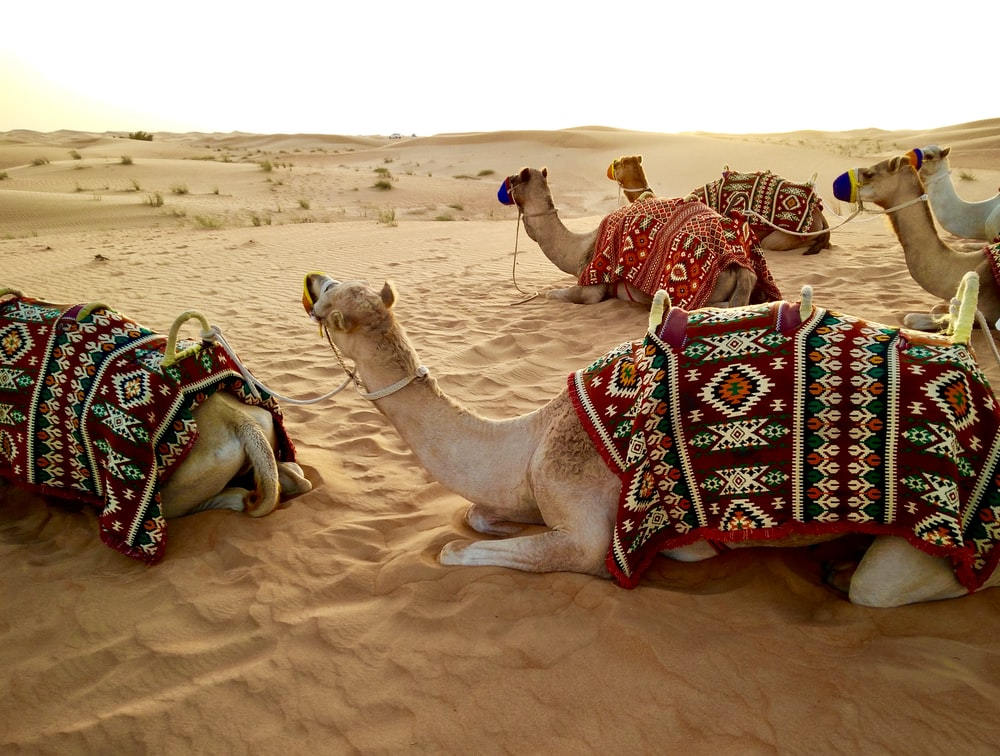herd of camel sitting on desert sand