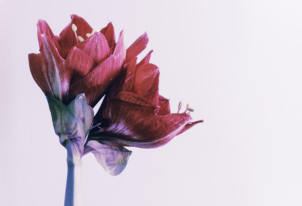 two red flowers on white background