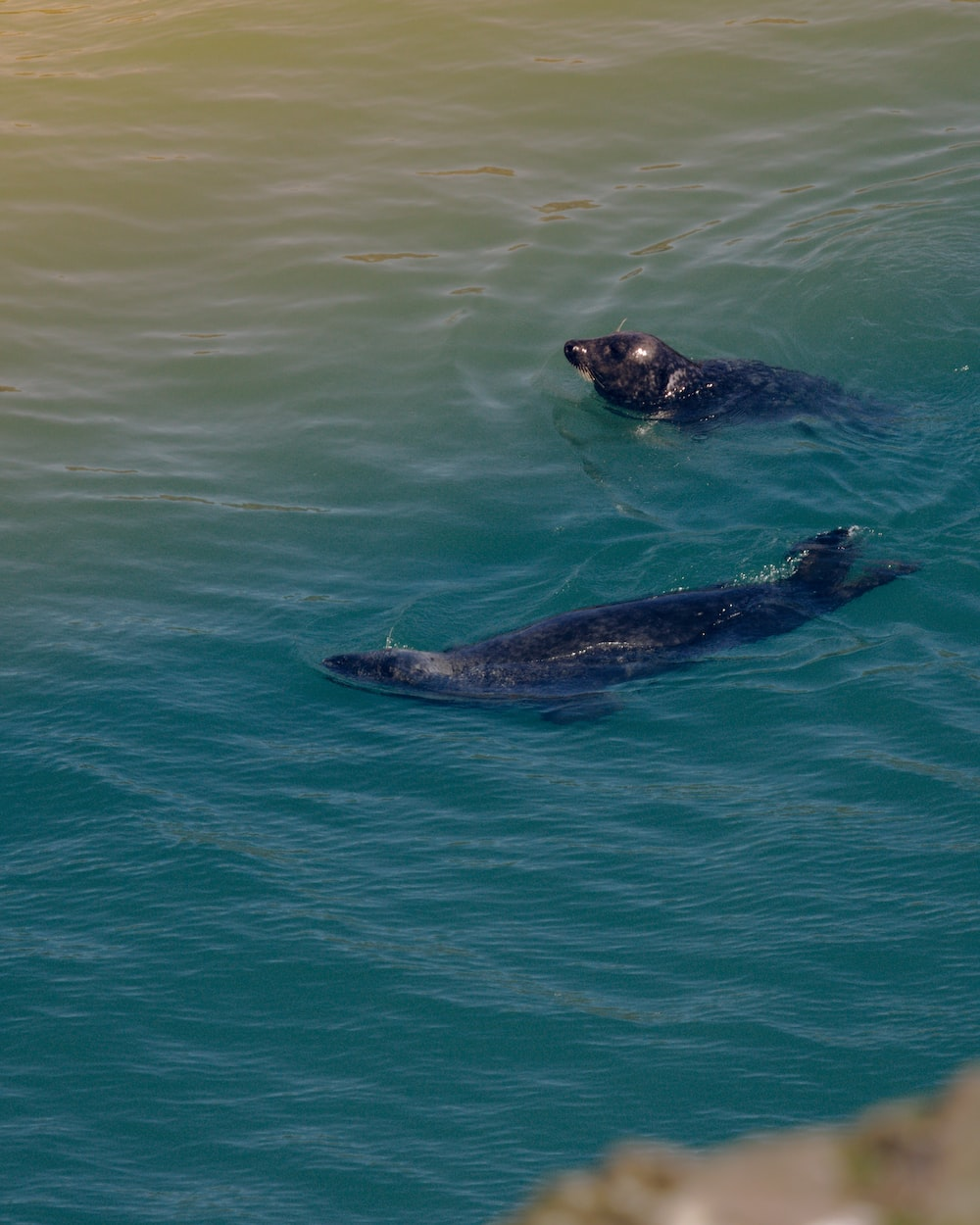 two earless seals swimming on body of water during daytime