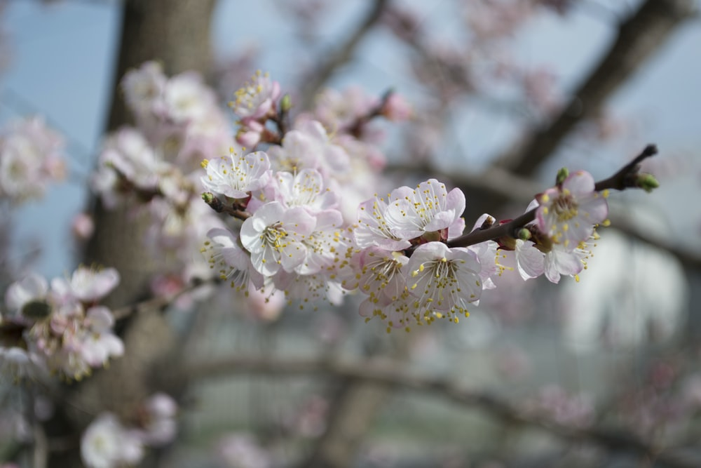 pink Cherry blossoms in selective focus photography