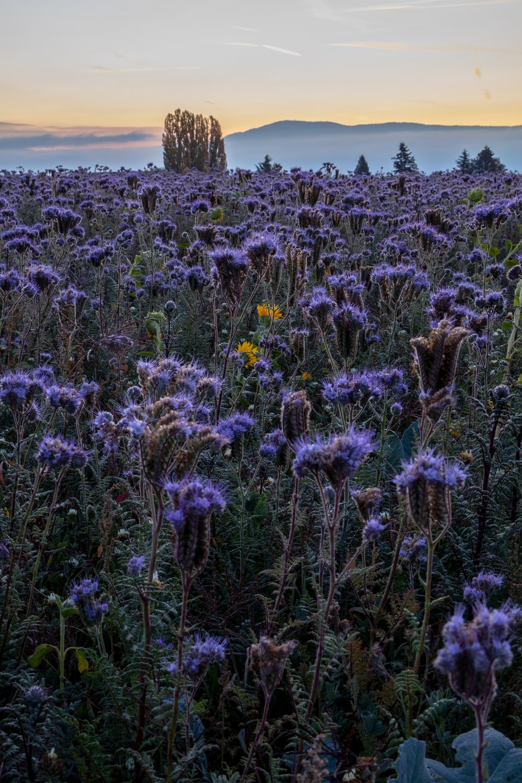 garden of purple-petaled flowers