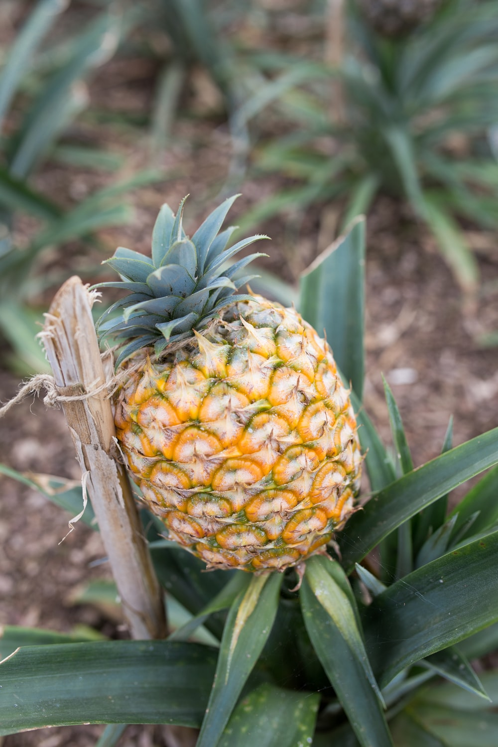 selective focus photography of pineapple fruit
