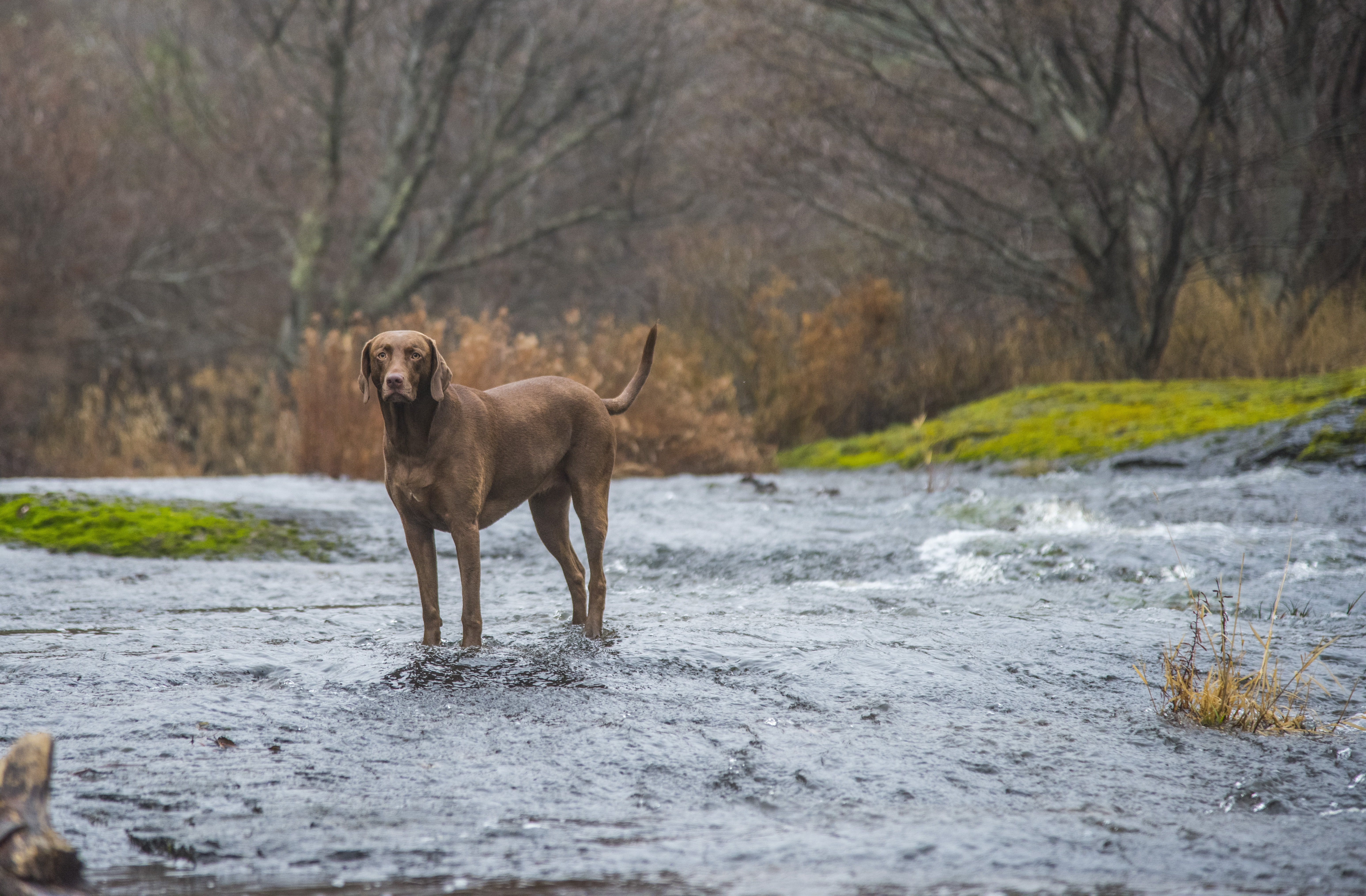 short-coated brown dog standing on body of water near trees