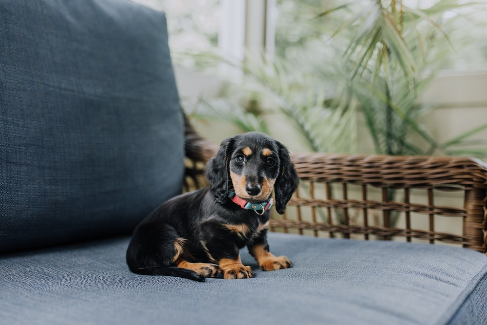 black and tan puppy sitting on gray fabric chair