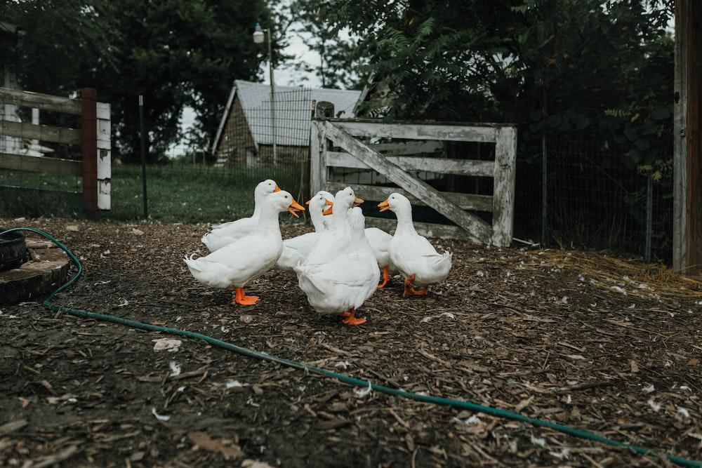 flock of white ducks on brown soil