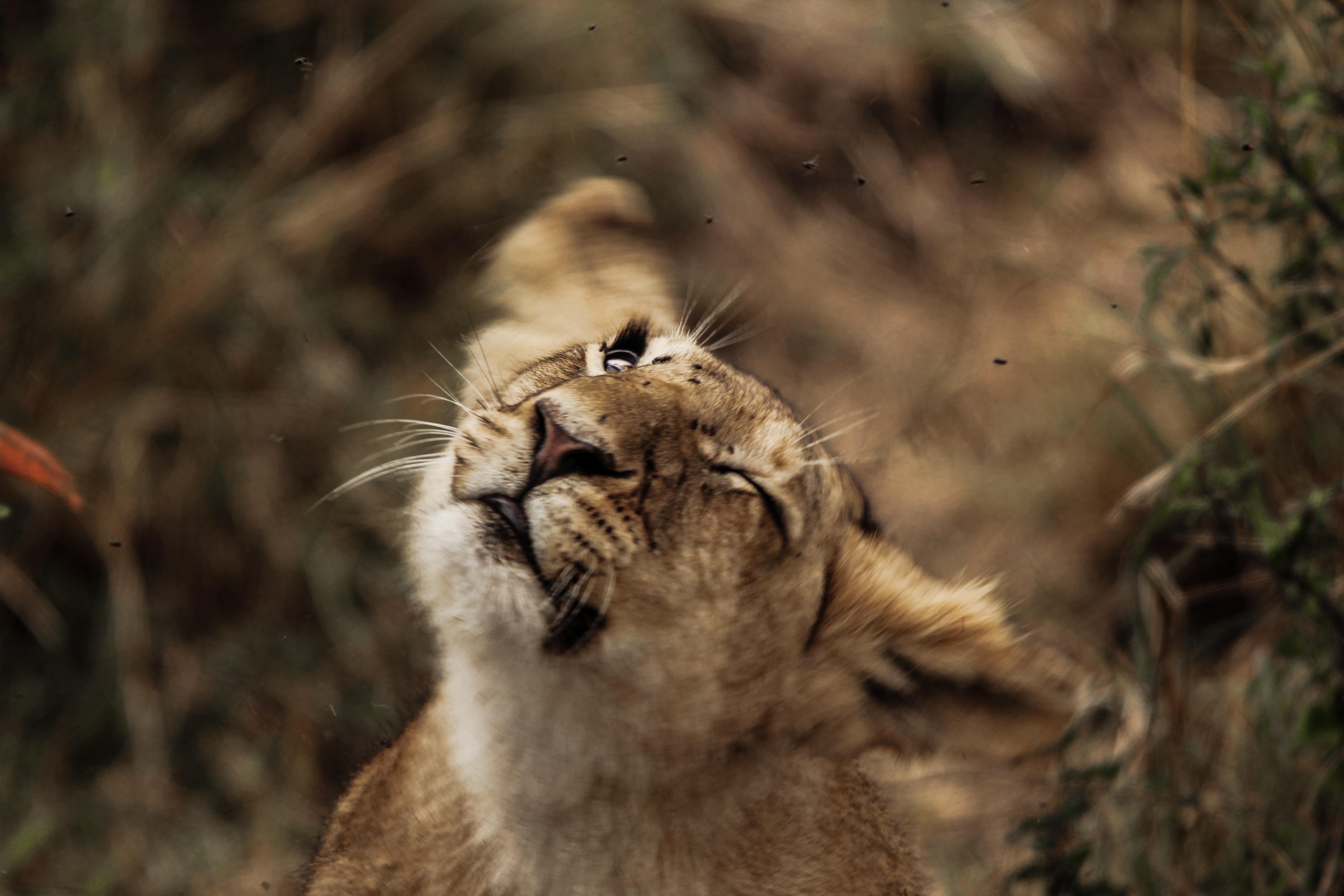 lion cub selective focus photography