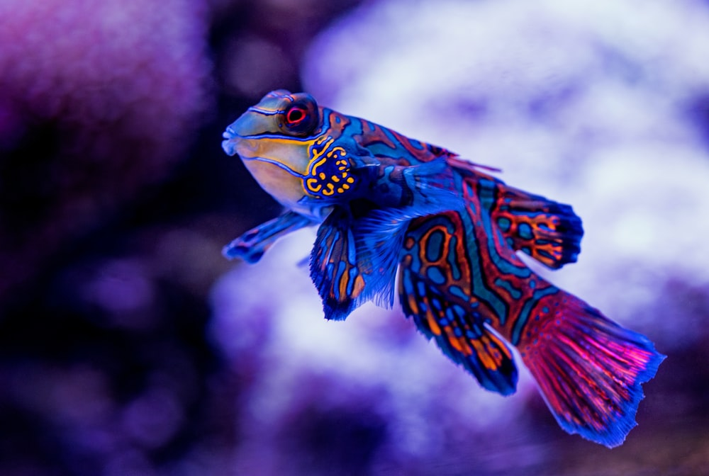 blue madarin fish