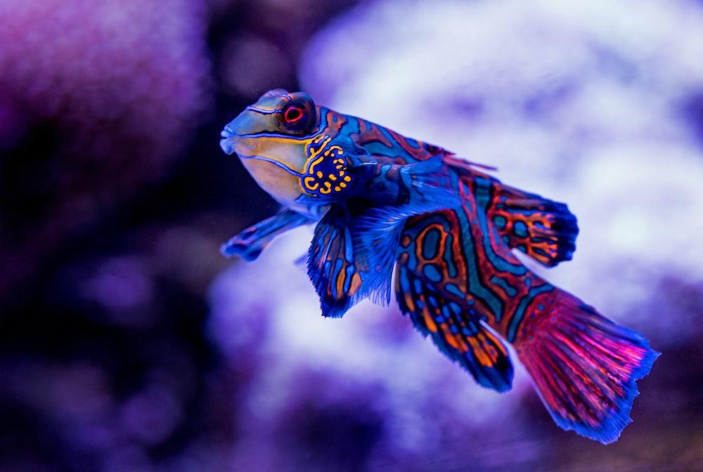 blue madarin fish