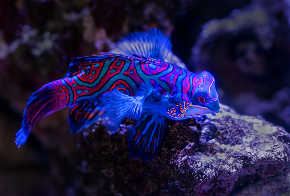 blue and red fish on top of brown rock